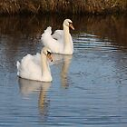 A PAIR OF MUTE SWANS ON THE CANAL AT WEST MARTON , YORKSHIRE .  by Dahlia48