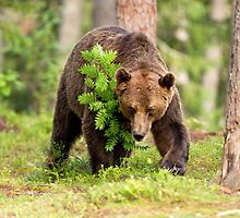 Brown Bear by dgwildlife