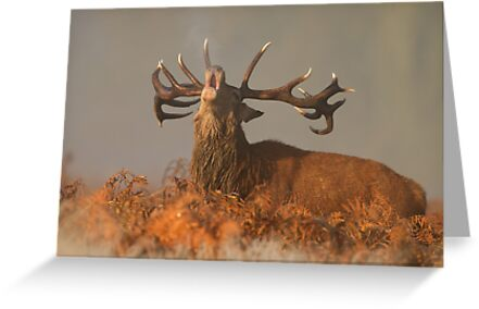 Red Deer in the Mist by dgwildlife