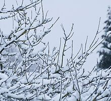 Snow Laden Branches by FTravis