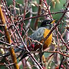 American Robin by westernphoto
