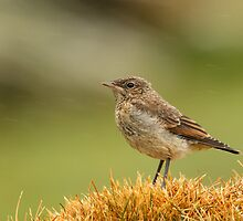 Northern Wheatear Juvenile by dgwildlife