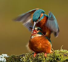 Mating Kingfishers  by dgwildlife