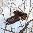 Golden Eagle Flying by westernphoto