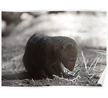 Mongoose Poster