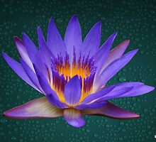 Water Lily Neon Purple and Yellow Colors Natural by Gotcha29