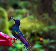 Classy Mindo Hummingbird by Al Bourassa