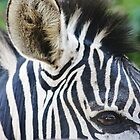 Zebras Eye by AroundOurWorld
