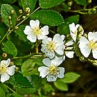 Multiflora Rose - Dog Roses - Rosa multiflora - Wildflower by MotherNature