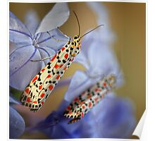 Crimson Speckled Moths 2 Poster
