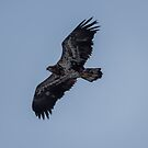 Juvenile Bald Eagle In Flight by Deb Fedeler