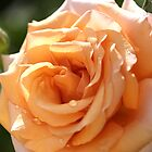 flower-orange-rose by Joy Watson