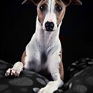 The Italian Greyhound by SD Smart