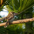 Grey Butcherbird by reflector
