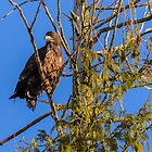 04/01/2014  Young Eagle by RevelstokeImage