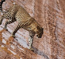 Leopard in jungle by Mudith Jayasekara