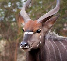 Nyala Portrait by Craig Higson-Smith