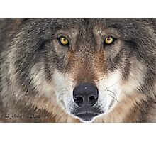 ... yes...I am a wolf-addict...  Photographic Print