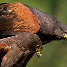 A Couple of Harris Hawks by imagetj
