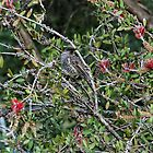 Little Wattlebird (Anthochaera Chrysoptera) by Matthew Hockley