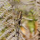 Yellow-striped Hunter (Austrogomphus Guerini) Dragonfly by Matthew Hockley