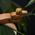 Amazon Tree Boa by serpentscales