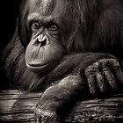 Orangutan contemplating where evolution jumped the shark by alan shapiro