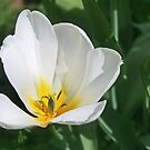 White Tulip by Nadya Johnson