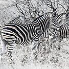 Zebra, Kruger by herbpayne