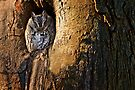 Eastern Screech Owl by Michael Cummings