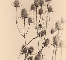 Plant, Wild teasel, Dipsacus fullonum, Seed heads by Hugh McKean