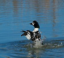Barrow's Goldeneye by Sue Robinson