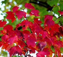 Red Leaves by Cynthia48