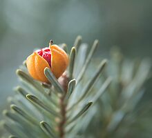 Berry on Pine by Irene VanBuskirk