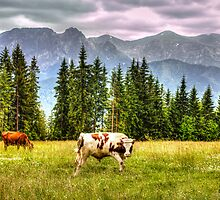Cows In A Field by Patrycja Polechonska