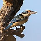 sacred kingfisher just after sunrise no 3 by Kym Bradley