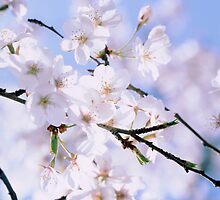 Cherry blossoms in spring by intensivelight