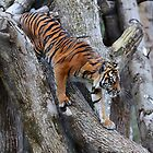 Sumatran Tiger by Sheila Smith
