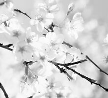 Cherry blossoms - monochrome by intensivelight