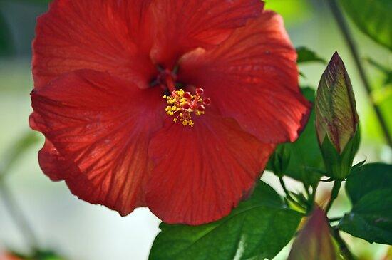 Hibiscus in Bloom  by John  Kapusta