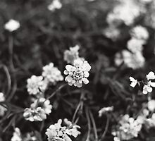 White Flowers by Emily Rose