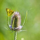 Yellow Sulfur Butterfly Feeding by Dan Dexter
