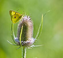 Yellow Sulfur Butterfly Feeding by Dan Dexter