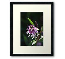 flower-hebe  Framed Print