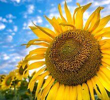 Sunflowers field by Dobromir Dobrinov