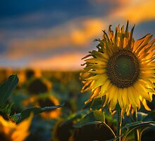 Sunflowers field by Dobromir Dobrinov