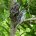 Tawny Frogmouths by Jordan Miscamble