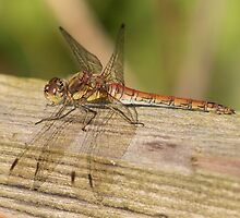 Dragonfly by Robert Carr