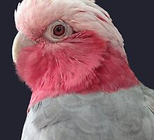 Rose-breasted Cockatoo by Kimberly Palmer