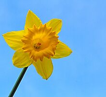Daffodil Photo by fantasytripp